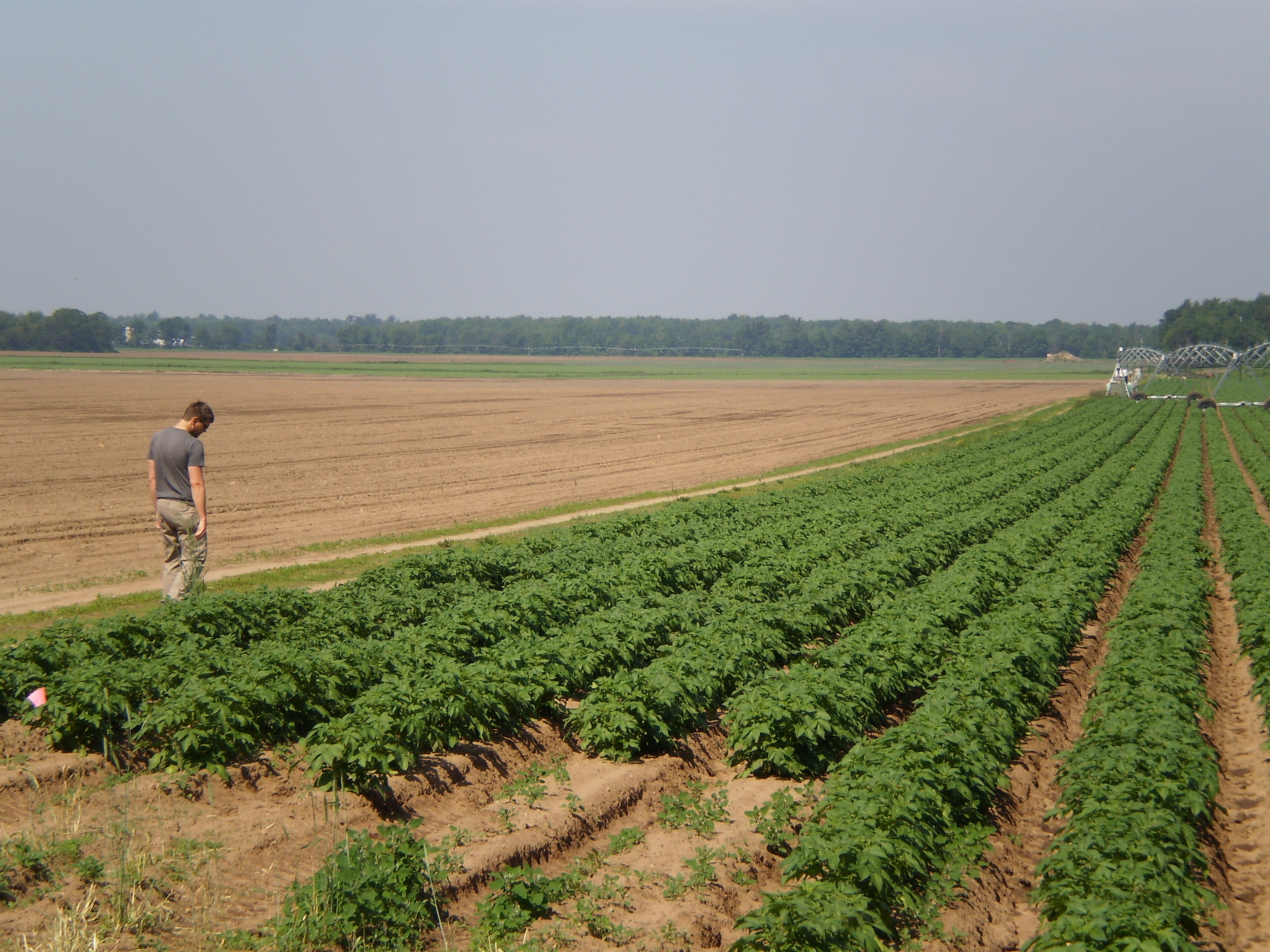Scouting for potato beetles in Wisconsin
